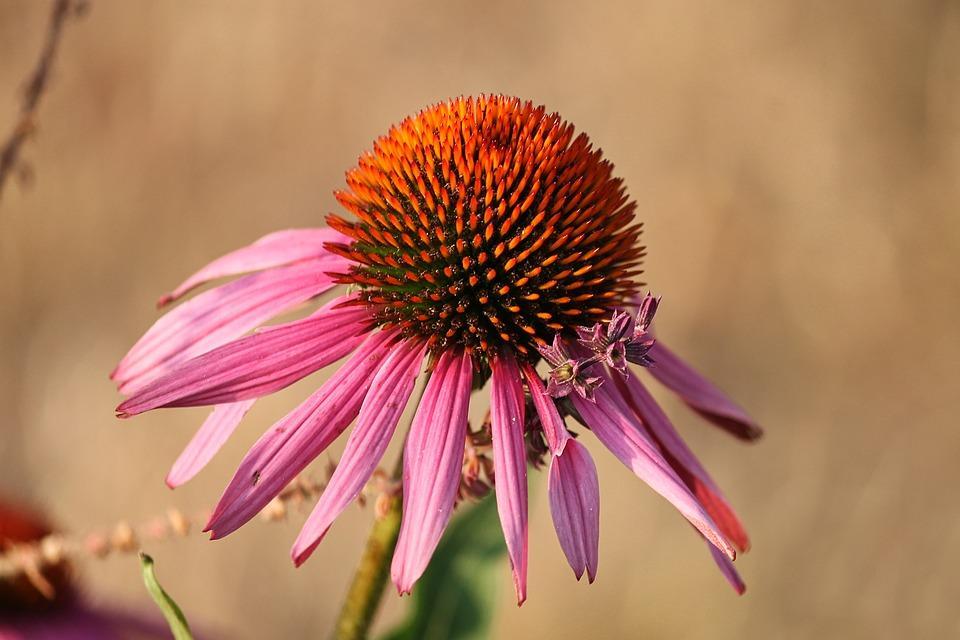 echinacae