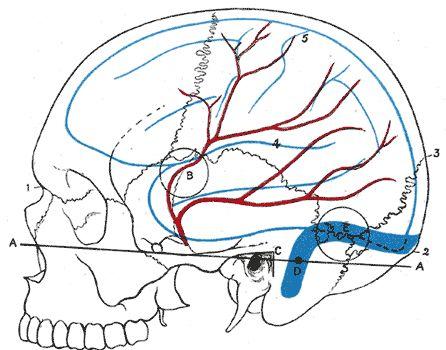 Middle meningeal artery1