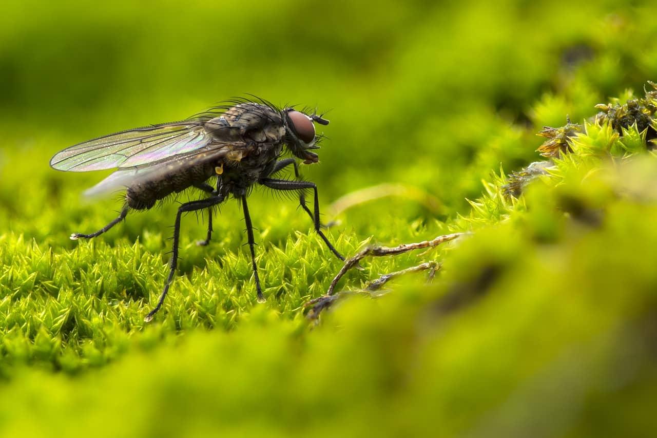 Fleas and flies
